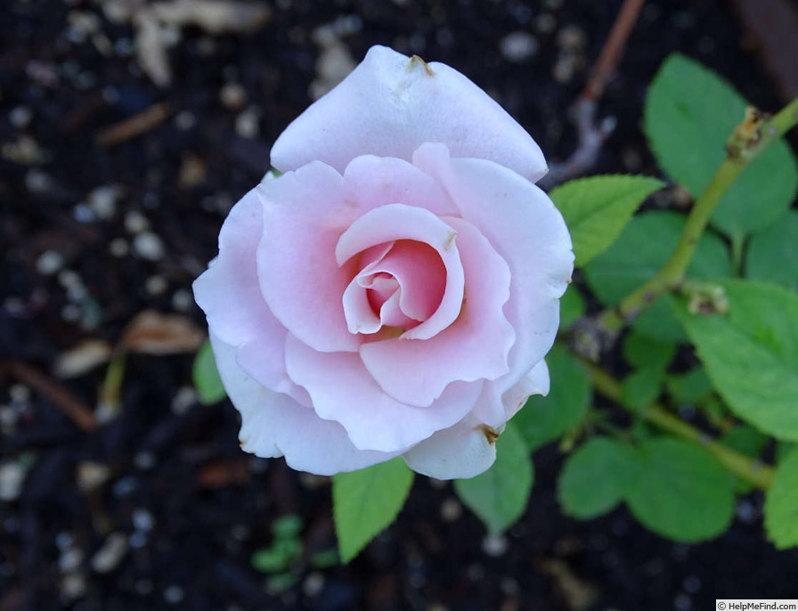 'Monty's Joy' rose photo