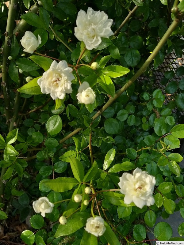 'R. banksiae alba plena' rose photo
