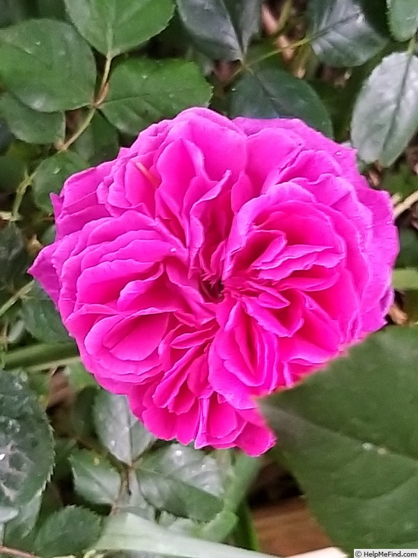 'Falstaff' rose photo
