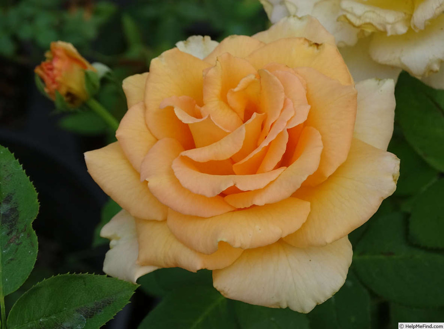 'Over the Moon' rose photo