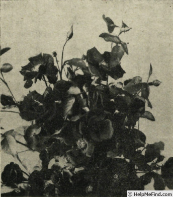 'Cocorico (floribunda, Meilland, 1950)' rose photo