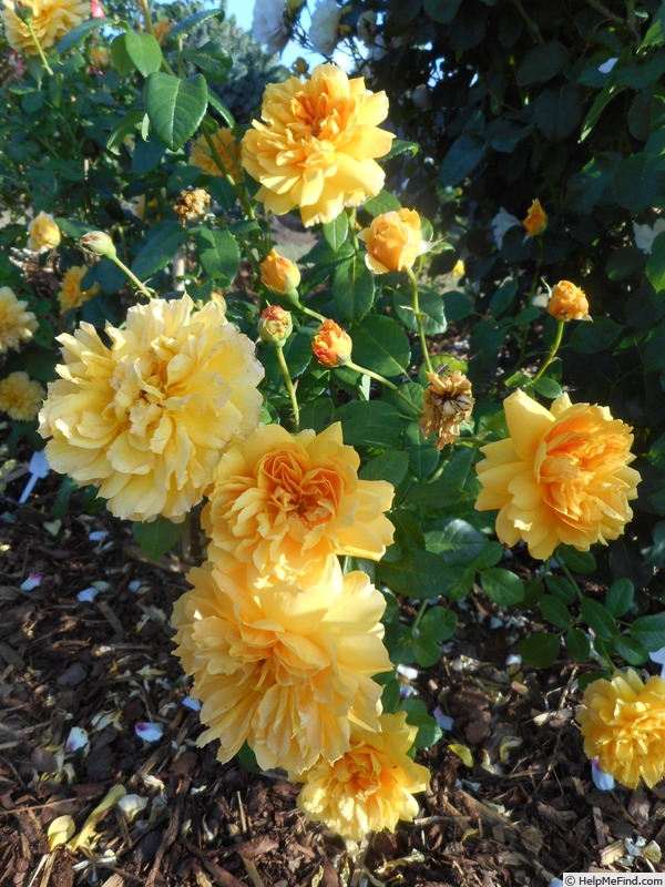 'Leah Tutu' rose photo