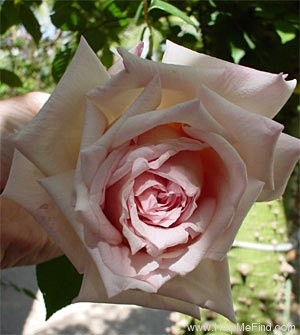 'Maman Cochet (Tea, Cochet, 1892)' rose photo