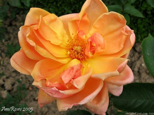 'Luis Brinas' rose photo