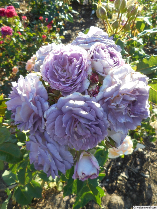 'Blue Tango' rose photo