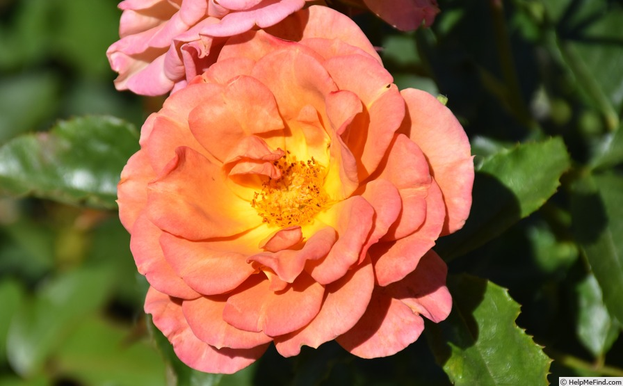 'Pumpkin Patch (Floribunda, Bedard, 2008)' rose photo
