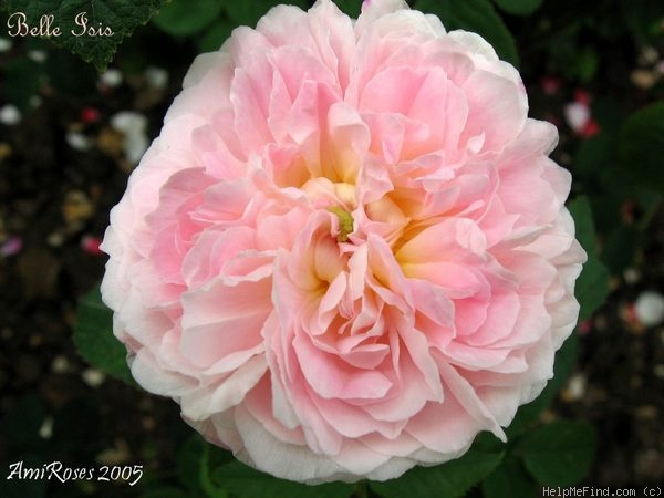 'Belle Isis (gallica, Parmentier, by 1845)' rose photo