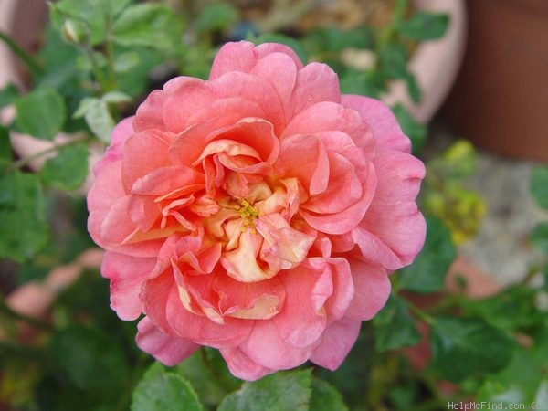 'Christopher Marlowe' rose photo
