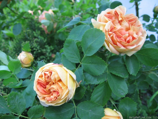 'Soleil d'Or' rose photo