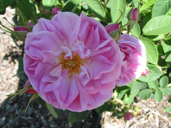 'Gloire de Guilan' rose photo