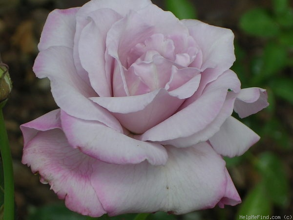 'Moonlight Magic' rose photo
