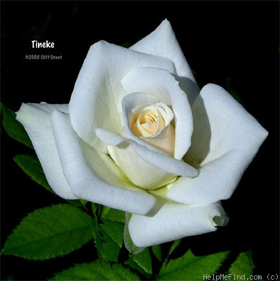 'Tineke' rose photo