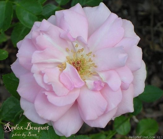 'Radox Bouquet' rose photo