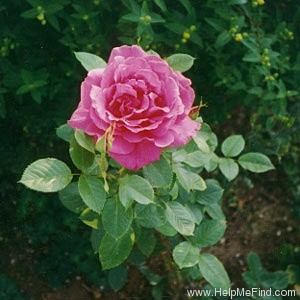 'Rendez-Vous (hybrid tea, Meilland, 1987)' rose photo