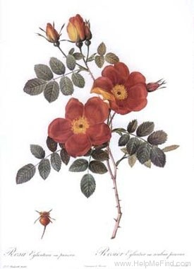 '<i>Rosa foetida</i> var. <i>bicolor</i> Willmott' rose photo