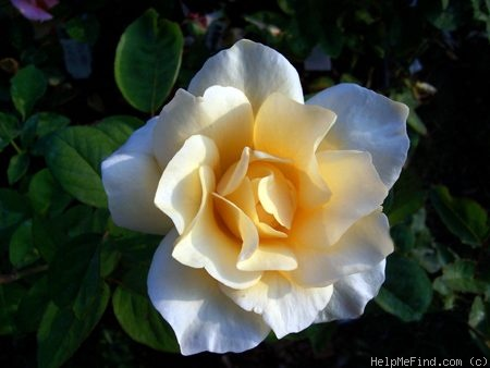 'Yellow Queen Elizabeth' rose photo