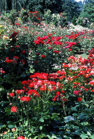 'International Rose Test Garden (Portland)'  photo
