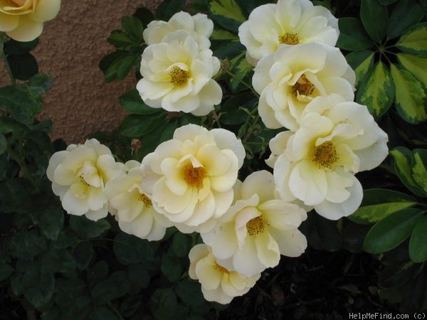 'Grace Abounding (floribunda, Harkness, 1968)' rose photo