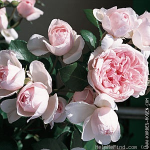 'Cinderella ™ (climber, Kordes 2003)' rose photo