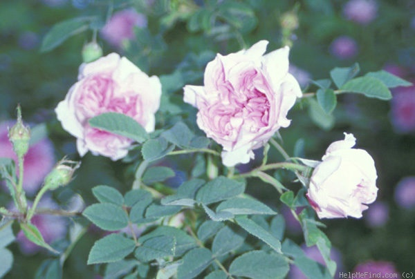 'Blush Damask' rose photo