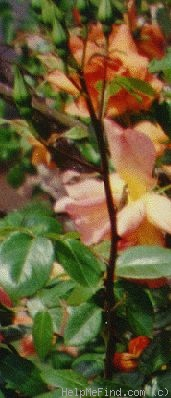 'Ruth Alexander' rose photo