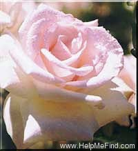 'Sheer Bliss' rose photo