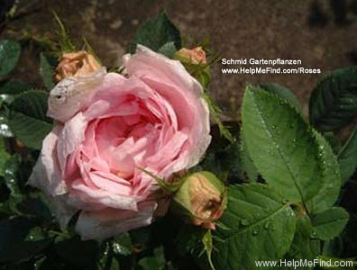 'Agatha Incarnata' rose photo