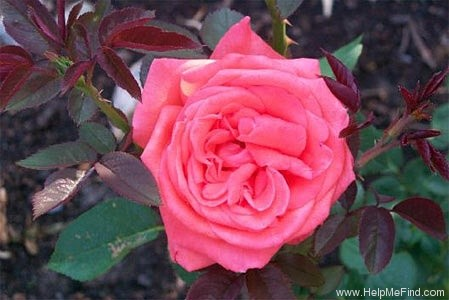 'Tropicana' rose photo