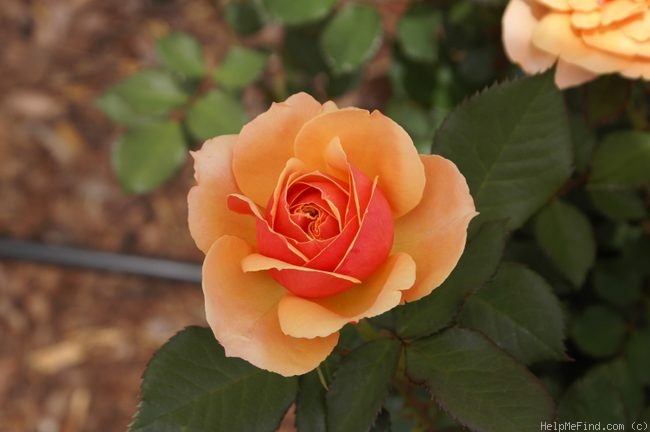 'About Face ™' rose photo