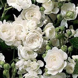 'Crystal Fairy' rose photo
