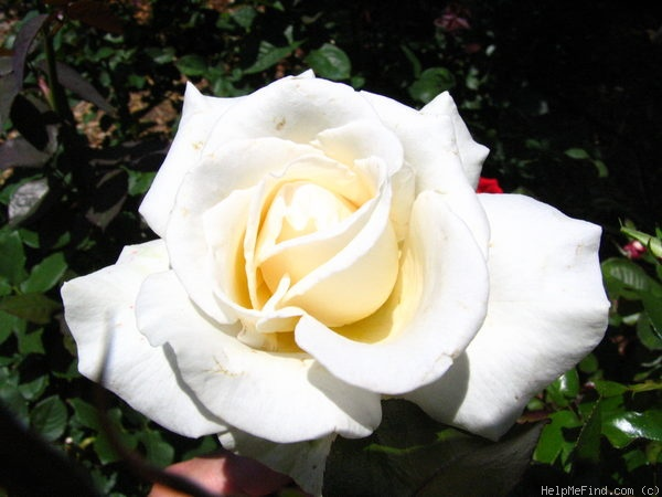 'Full Sail' rose photo