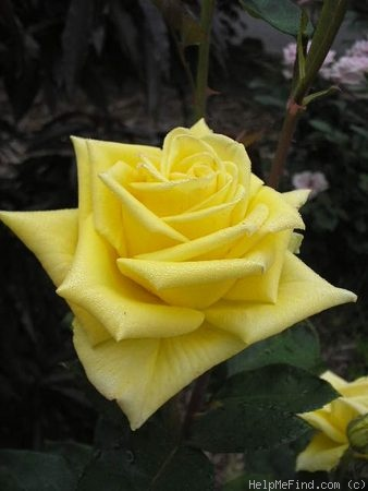 'Canary Diamond ™' rose photo