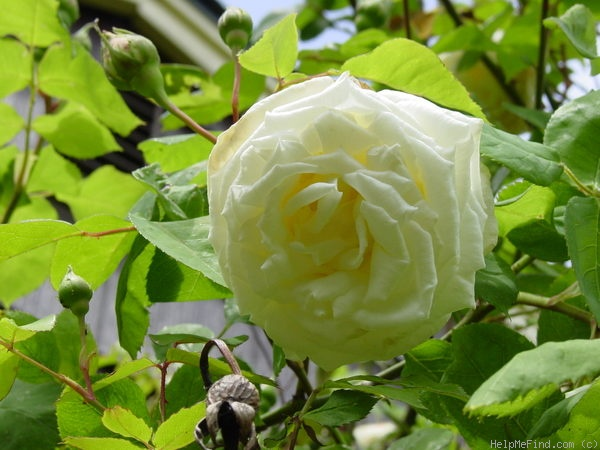 'Paul's Lemon Pillar' rose photo