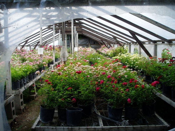 'Sequoia Nursery, Moore Miniature Roses Historic Archive'  photo
