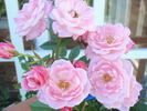 Jeanne Lajoie rose photo