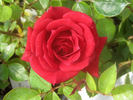 Red Beauty rose photo