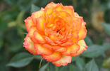Ring of Fire ™ rose photo