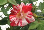 Stars 'n' Stripes rose photo