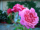 Christopher Marlowe rose photo