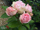 Charming Piano rose photo