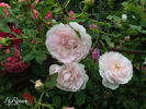 Lady Salisbury rose photo