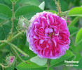 Himmelsauge rose photo