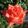Orange Classic rose photo