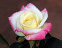 Dr. Jim Hering rose photo