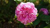 Comte de Mortemart rose photo