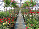 RUSROZA, Nursery of  Roses nursery photo