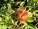 Galls glossary photo