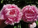 Dr. Alexander Fleming peony photo