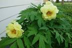 High Noon peony photo
