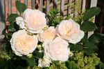Stephanie Baronin zu Guttenberg rose photo